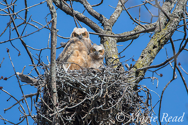 Great Horned Owl (Bubo virginianus) two large owlets in nest in tree, New York, USA