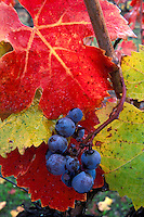 Purple wine grapes on vine with red green and yellow leaves in autumn at harvest time, Vineyard in the Alexander Valley, Sonoma County, California.