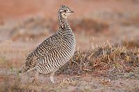 Lesser Prairie-Chicken - Tympanunchus pallidicinctus - female