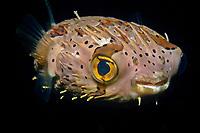 Balloonfish, Diodon holocanthus, at night, Dumaguete, Negros Island, Philippines