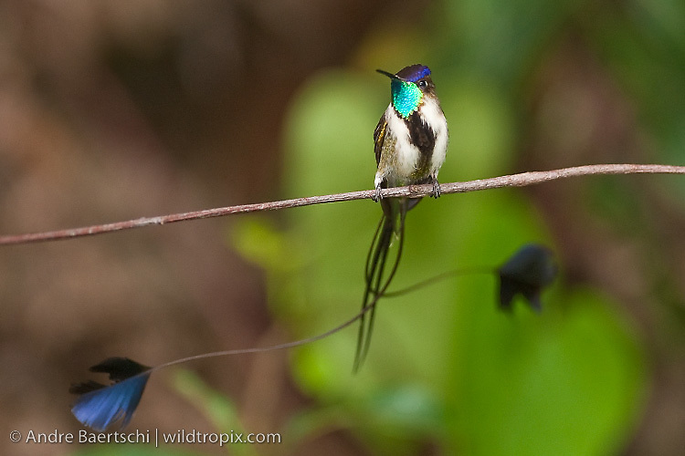 Marvelous Spatuletail (Loddigesia mirabilis), male, an endemic hummingbird restricted to the montane rainforest of the Utcubamba Valley in northern Peru.