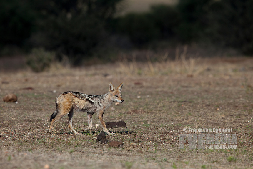 Black-backed Jackal (Canis Mesomelas)...Mashatu Game Reserve..Tuli block, Botswana..November 2010.