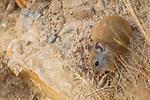 Large-eared Pika (Ochotona macrotis), Sarychat-Ertash Strict Nature Reserve, Tien Shan Mountains, eastern Kyrgyzstan