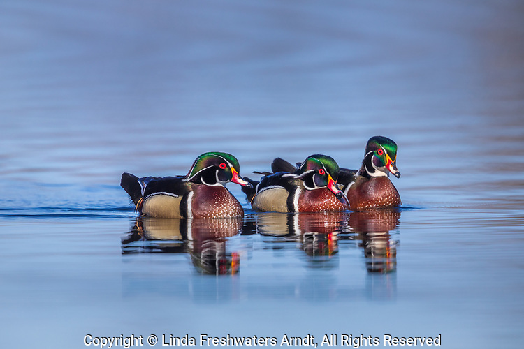 Trio of wood ducks swimming in a northern Wisconsin lake.