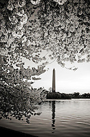 Cherry Blossoms Washington Monument Washington DC.Cherry Blossoms blooming around the Tidal Basin, National Mall , and US Capitol in Washington DC symbolize the natural beauty of our Nation's Capital City and has become part of Washington DC's rite of Spring.  Landmarks include the Jefferson Memorial, Washington Monument, and US Capitol.  A popular tourist attraction and travel destination for many visiting Washington DC.....http://www.dcstockimages.com.http://www.dcstockphotos.com..All images are very high quality image files available for license in various media.  Please contact for license or visit:..http://www.dcstockphotos.com.http://www.randysantosphoto.com.http://www.randysantos.blogspot.com