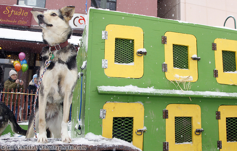 Saturday, March 3, 2012  Silvia Furtwangler's dogs scope out the Fourth Avenue scene prior to the Ceremonial Start of Iditarod 2012 in downtown Anchorage, Alaska.