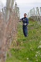 A vineyard worker doing winter pruning wearing sunglasses. Vinedos y Bodega Filgueira Winery, Cuchilla Verde, Canelones, Montevideo, Uruguay, South America