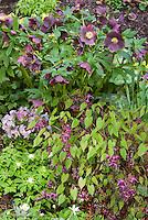 Helleborus hybridus Brandywine hellebore, Epimedium Violet Princess, Viola, Anemonella in purple lilac lavender color theme in spring April flowers