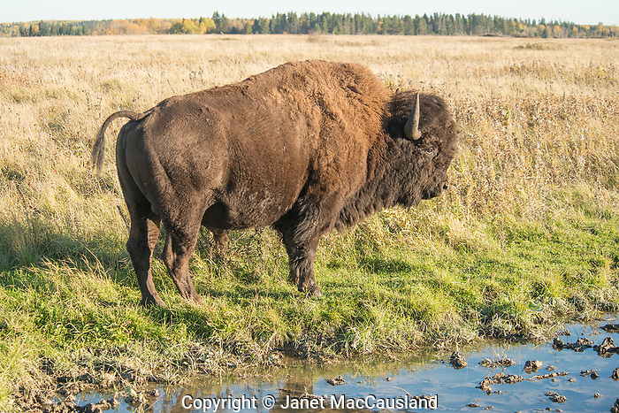 Look out when a bull Bison has his tail up; he is territorial!