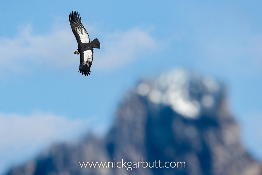 RF - Andean condor (Vultur gryphus) flying over Torres del Paine Massif. Torres del Paine National Park, Chilean Patagonia, Chile. March.