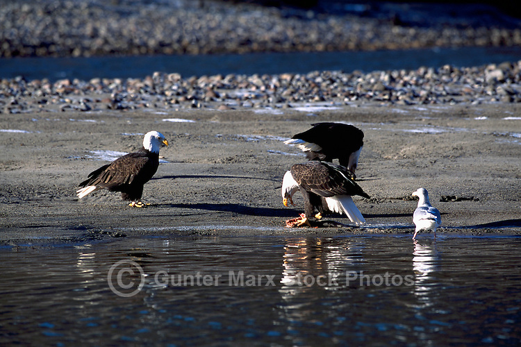 Mature Adult Bald Eagles (Haliaeetus leucocephalus) feeding on Spawned Out Coho Salmon beside a River