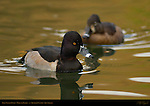 Ring-necked Ducks, Male and Female, Drake, Hen, Franklin Canyon, Southern California