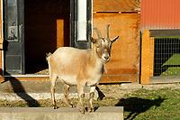 Mature Himalayan goat at Westham Island Herb Farm, Delta, British Columbia, Canada