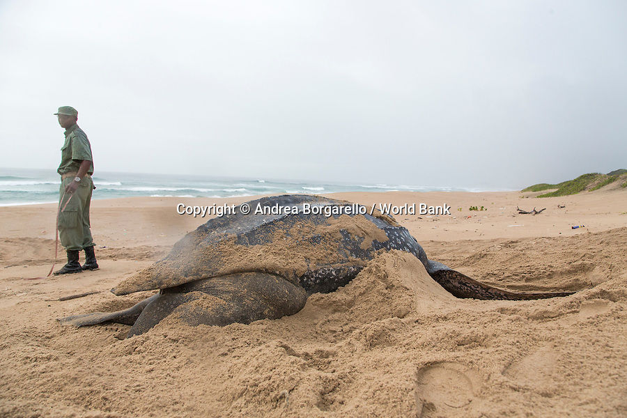 Marine Reserve of Ponta do Ouro.<br /> Maputo province, Mozambique.<br /> These turtles (here laying the eggs) are endangered. The rangers constantly monitor them.