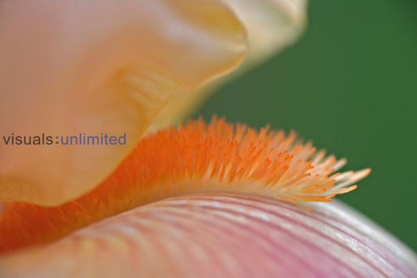 Close-up of beard on Iris flower, Louisville, KY