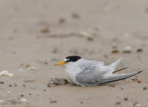 Least Tern (Sterna antillarum), adult with newly hatched young after rain storm, Port Isabel, Laguna Madre, South Padre Island, Texas, USA