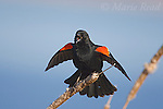 Red-winged Blackbird (Agelaius phoeniceus) male singing and performing courtship display, Montezuma National Wildlife Refuge, New York, USA