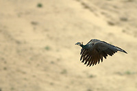 Wild Peacock in flight the Thar Desert, near Jaisalmer, Rajasthan India