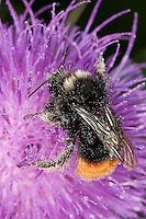 Steinhummel, Stein-Hummel, Bombus lapidarius, Pyrobombus lapidarius, Aombus lapidarius, Männchen beim Blütenbesuch auf Distel, Nektarsuche, Bestäubung, red-tailed bumble bee