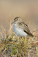Least Sandpiper (Calidris minutilla) perched on a tundra tussock. Yukon Delta National Wildlife Refuge. May.