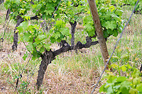 old vine vineyard chateau curson dom pochon crozes hermitage rhone france
