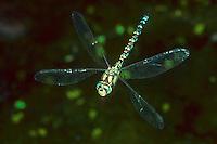 Blaugrüne Mosaikjungfer, Flug, Fliegend, Blaugrüne-Mosaikjungfer, Aeshna cyanea, Aeschna cyanea, blue-green darner, southern aeshna, southern hawker, flight