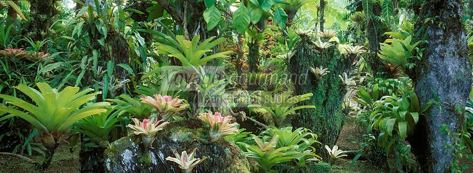 France/DOM/Martinique/Balata/Les jardins: Détail d'un massif de Broméliacées
