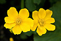 Marsh marigold (Caltha palustris), mid April.