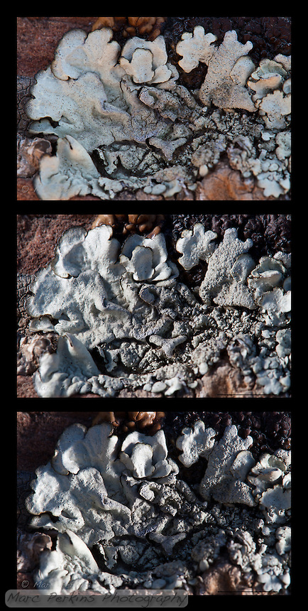 Three images of the same lichen lit differently.  The top image is the base lighting (diffuse shade).  The middle image has sunlight reflected onto the lichen from the left, and the bottom image has light reflected onto the lichen from the right.  <br /> <br /> A brown-fringed gray foliose lichen overgrowing at least three other morphologies of lichen on a rock.  I believe the primary lichen has numerous isidia (small finger-like structures protruding from the thallus).  My best guess is that this is in _Physcia_, but I'm not sure.  This lichen was found in Vasquez Rocks County Park in Los Angeles County. The scale bar is 5mm (contact me if you want a version of the image without the scale bar).