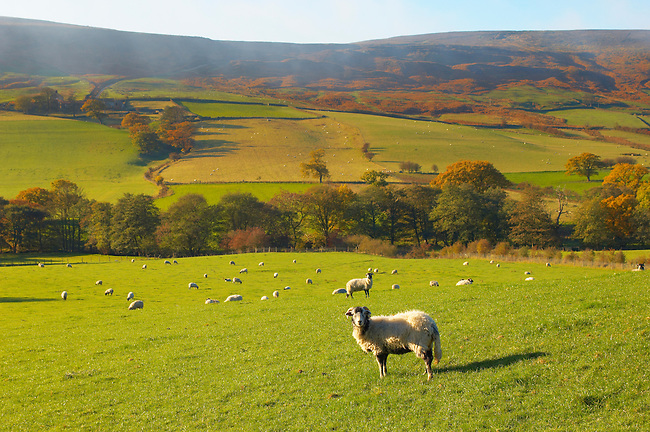 Farndale looking across dale with moors sheep in foreground,  North Yorkshire Moors National Park, England.