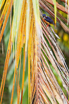 Blue-eared Kingfisher (Alcedo meninting) male in palm tree, Tawau Hills Park, Sabah, Borneo, Malaysia
