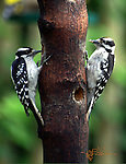 Male and female Downy Woodpeckers on opposite sides of a log eating peanut butter placed in holes in the log. The male woodpecker has peanut butter on his beak.