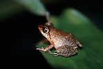 Tree Frog at night in Dominica.