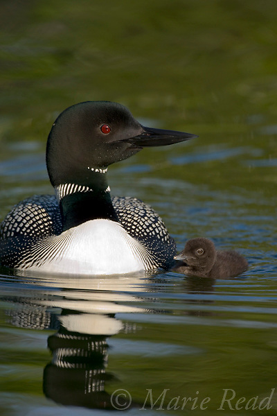 Common Loons (Gavia immer), adult with chick 2-3 days old, Michigan, USA.