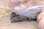 Deer Mouse Being Measured