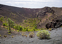 Pines grow in the crater of the volcano San Antonio on the Canary Island of La Palma.