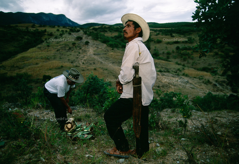 Workers collect wild agave in rural Oaxaca where 80% of the mescal made in Mexico. They produce 1,000 liters of mescal a month at the small factory. The cut 8 year old wild maguey instead of planted with machetes they wear on their belts.