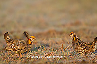 00842-03718 Greater Prairie-Chickens (Tympanuchus cupido)  males on lek Prairie Ridge State Natural Area Jasper Co, IL