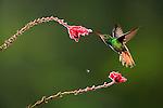 Rufous-tailed Hummingbird (Amazilia tzacatl) nectaring at a Fuchsia flower, Costa Rica