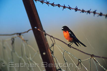 Flame Robin (Petroica phoenicea) male, perched on barbed wire fence in a paddock. Gundagai area, New South Wales