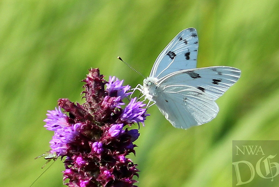 Courtesy photo/PHYLLIS KANE<br />FLOWERY REST STOP<br />A checkered white butterfly rests on a prairie blazing star. Phyllis Kane of Fayetteville took the picture July 7 at Chesney Prairie near Siloam Springs during a Northwest Arkansas Audubon Society field trip.