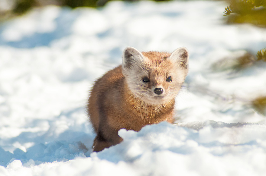 The American Martin is a member of the weasel family and a capable predator in the northern forest.