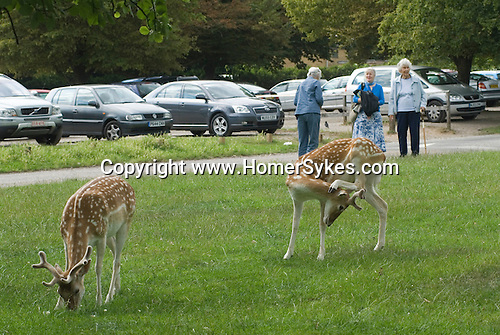 Richmond Park Surrey. Young deer feeding with Londoners tourists watching.