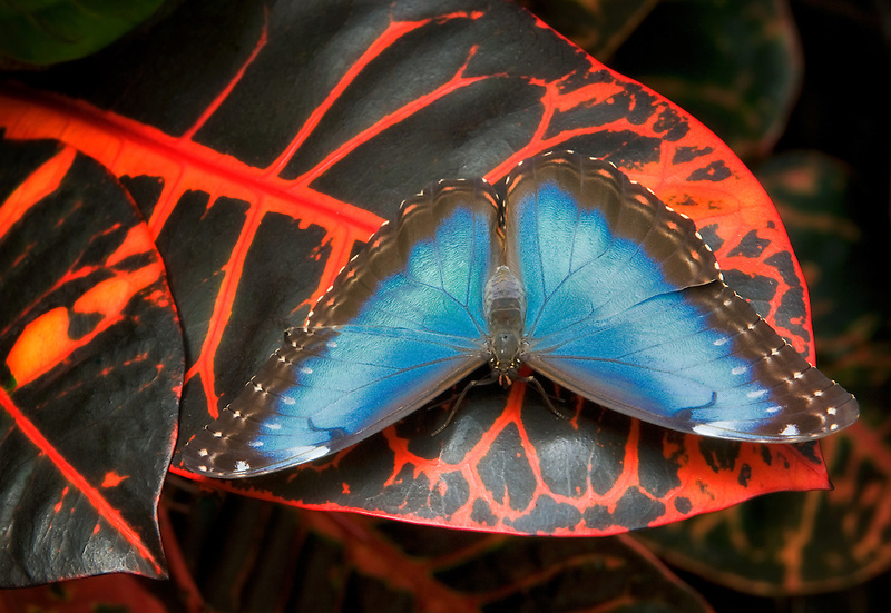 Comon Morpho butterfly (Morpho peleldes). Victoria Butterfly Gardens, Victoria, B.C. Canada
