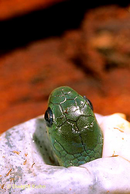 1R04-115b  Smooth Green Snake - young emerging  from egg - Opheodrys vernalis