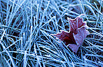A frozen Canadian maple leaf lying on the frost covered grass early in the morning near Covey Hill, Quebec, Canada.
