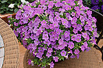 PETUNIA 'PICOBELLA LAVENDER' IN POT ON TABLE