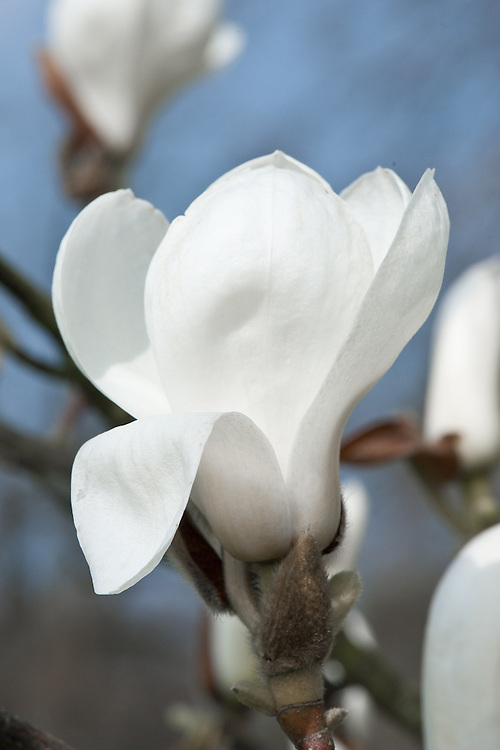 Magnolia denudata (syn. Magnolia heptapeta), late March. Also known as the Yulan magnolia or lily tree. From China.