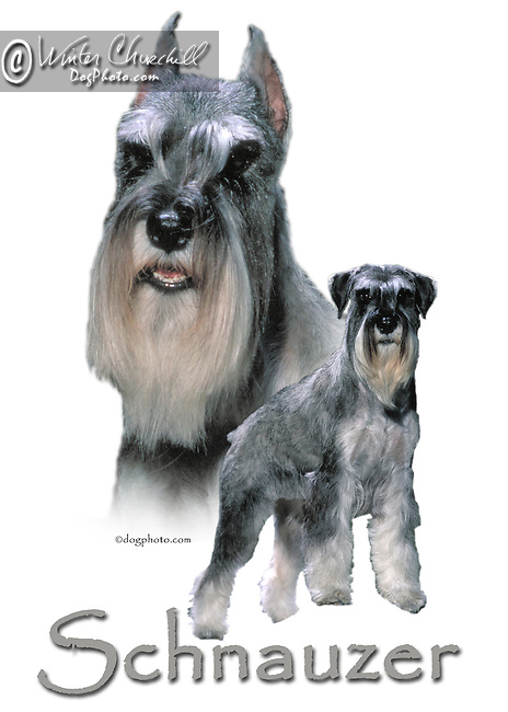 Schnauzer This design is offered on gift merchandise ONLY.<br /> <br /> You'll find all the merchandise options listed IN THE CART so add a design to your shopping cart first. All merchandise item are shipped straight to you from our lab in Dallas, Tx.