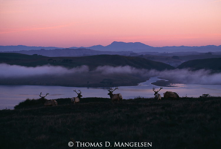 Elk look out over a river at sunrise